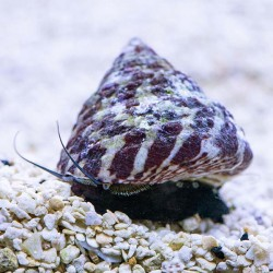 Red Strip Trochus Snail -...