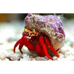 Red Leg Hermit Crab -...