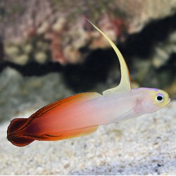 Firefish Goby -...