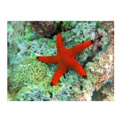 Red Starfish - Fromia indica