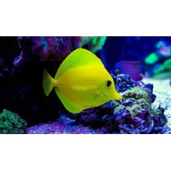 Yellow Sailfin Tang (ME)-...