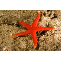 Red Starfish - Spotted -...
