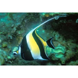 Hawaiian Moorish Idol...